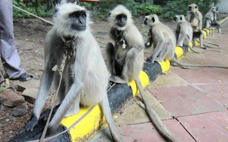 langur-monkey-guards